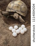 Stock photo tortoise nesting and egg laying female tortoise laying eggs africa spurred tortoise 1114004204