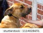 purebred big brown south... | Shutterstock . vector #1114028651
