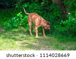 purebred big brown south... | Shutterstock . vector #1114028669