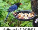 taiwan blue magpie  urocissa...   Shutterstock . vector #1114037495
