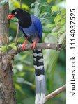 taiwan blue magpie  urocissa...   Shutterstock . vector #1114037525