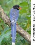 taiwan blue magpie  urocissa...   Shutterstock . vector #1114037531