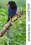 taiwan blue magpie  urocissa...   Shutterstock . vector #1114037549