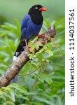 taiwan blue magpie  urocissa...   Shutterstock . vector #1114037561