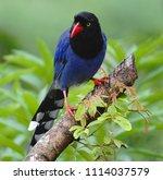 taiwan blue magpie  urocissa...   Shutterstock . vector #1114037579