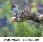 taiwan blue magpie  urocissa...   Shutterstock . vector #1114037585