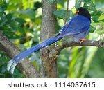 taiwan blue magpie  urocissa...   Shutterstock . vector #1114037615