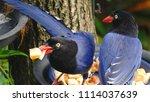 taiwan blue magpie  urocissa...   Shutterstock . vector #1114037639