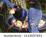 taiwan blue magpie  urocissa...   Shutterstock . vector #1114037651