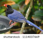 taiwan blue magpie  urocissa...   Shutterstock . vector #1114037669