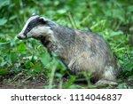 badger  native  european badger ... | Shutterstock . vector #1114046837