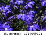 "blue ""trailing lobelia sapphire""... | Shutterstock . vector #1114049321"