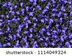 "blue ""trailing lobelia sapphire""... | Shutterstock . vector #1114049324"