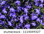 "blue ""trailing lobelia sapphire""... | Shutterstock . vector #1114049327"
