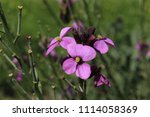 """wallflower bowles mauve"" in st.... 
