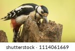 great spotted woodpecker and... | Shutterstock . vector #1114061669