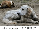 a bored dog. health and... | Shutterstock . vector #1114108259