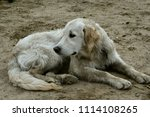 a bored dog. health and... | Shutterstock . vector #1114108265