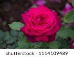 rose flower closeup. shallow... | Shutterstock . vector #1114109489