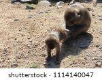 monkeys on shodoshima island in ... | Shutterstock . vector #1114140047