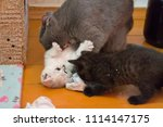 british mama cat plays with her ... | Shutterstock . vector #1114147175