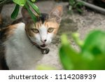 Small photo of adult cat purr