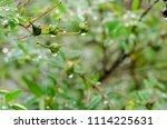 raindrops on fresh green leaves ... | Shutterstock . vector #1114225631