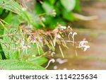 fresh small flower after rain... | Shutterstock . vector #1114225634
