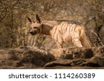 indian striped hyena habitat... | Shutterstock . vector #1114260389