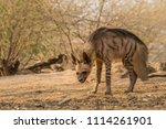 indian striped hyena habitat... | Shutterstock . vector #1114261901