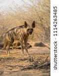 indian striped hyena habitat... | Shutterstock . vector #1114263485