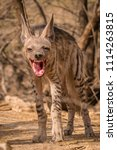 indian striped hyena habitat... | Shutterstock . vector #1114263815