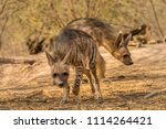 indian striped hyena habitat... | Shutterstock . vector #1114264421