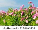 Pink Rose Bush Closeup On Field ...