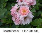 rose flower closeup. shallow... | Shutterstock . vector #1114281431
