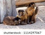 Group Of Young Charming Monkey...
