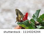 Common Swallowtail Butterfly...