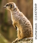 Small photo of Animal Meerkat Zoo