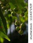 Small photo of Green rowan berries.