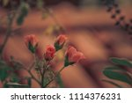 Stock photo four rose buds on a single lone branch 1114376231