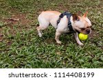 active  playful french bulldog  ... | Shutterstock . vector #1114408199