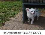 timid little white chihuahua... | Shutterstock . vector #1114412771