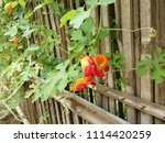 a ripe bitter gourd in the... | Shutterstock . vector #1114420259