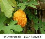 a ripe bitter gourd in the... | Shutterstock . vector #1114420265