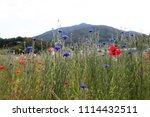 south korea blue cornflower | Shutterstock . vector #1114432511