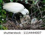 little egret  egretta garzetta  ... | Shutterstock . vector #1114444007