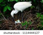 little egret  egretta garzetta  ... | Shutterstock . vector #1114444127