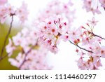 cherry blossoms blooming in... | Shutterstock . vector #1114460297