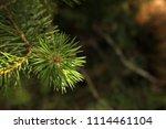 pine branch close up.   Shutterstock . vector #1114461104
