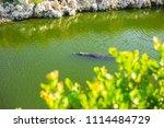 swamp and grass of everglades... | Shutterstock . vector #1114484729
